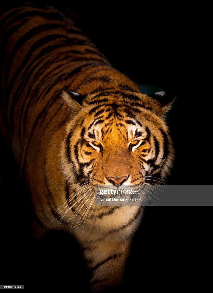 Panthera Tigris Face