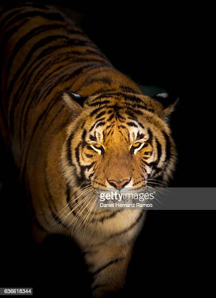 close up of a tiger face detail with dark background illuminated by the setting sun. Panthera tigris