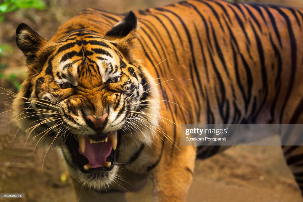 close up of a tigers face with bare teeth of bengal tiger stock