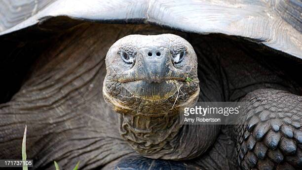 Close up of a tortoise at a ranch in Santa Cruz, Galapagos, Ecuador on July 13, 2010.