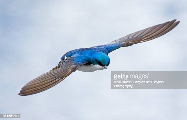 close up of a tree swallow hunting for food - songbird stock pictures, royalty-free photos & images