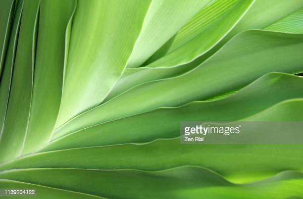 close up of a tropical leaves showing leaf edges and fanned out patterns - motivo naturale foto e immagini stock