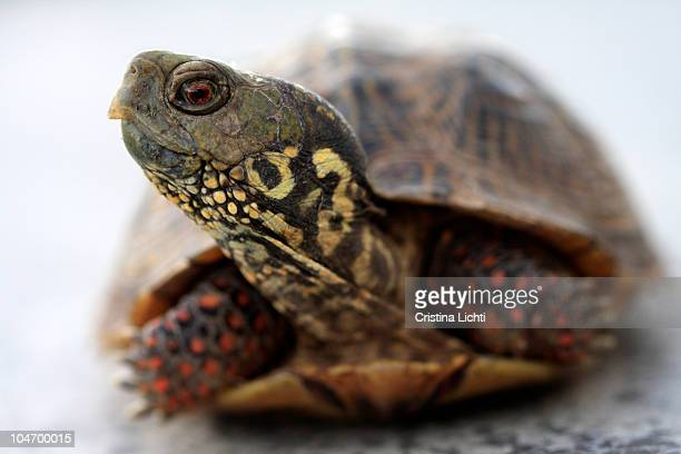 close up of a turtle - box turtle stock pictures, royalty-free photos & images