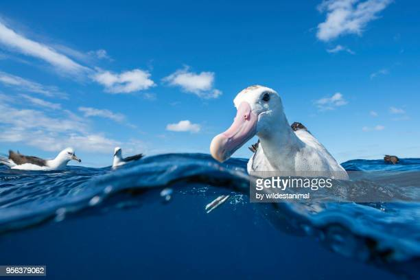close up of a wandering albatross floating on the water's surface, north island, new zealand. - animals in the wild stock pictures, royalty-free photos & images