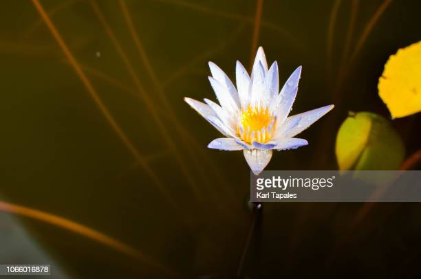 A close up of a water lily also known as nymphaeaceae