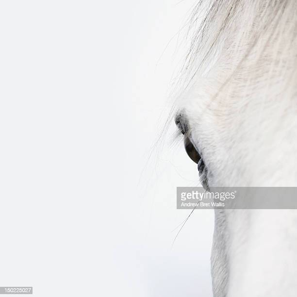 Close up of a Welsh Mountain Pony (Section A )