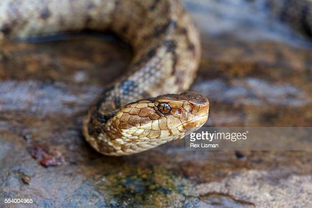 close up of a western cottonmouth - cottonmouth snake stock pictures, royalty-free photos & images