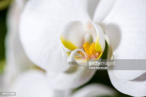 A close up of a white and purple blossom of an Orchid blooming