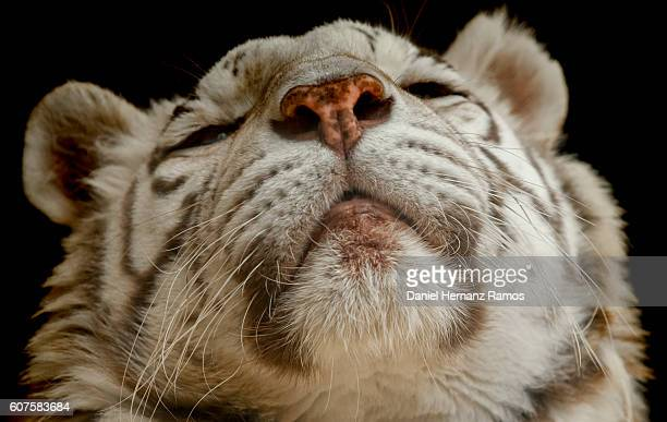 close up of a White tiger face detail. Panthera tigris