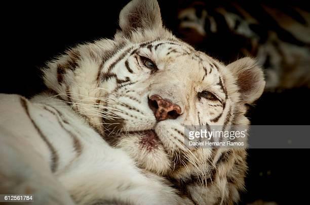 close up of a White tiger face detail. Panthera tigris