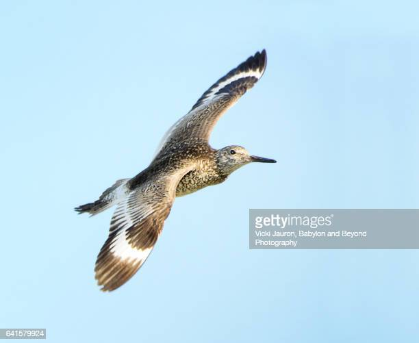 close up of a willet (tringa semipalmata) in flight against blue sky at jones beach - wantagh stock pictures, royalty-free photos & images