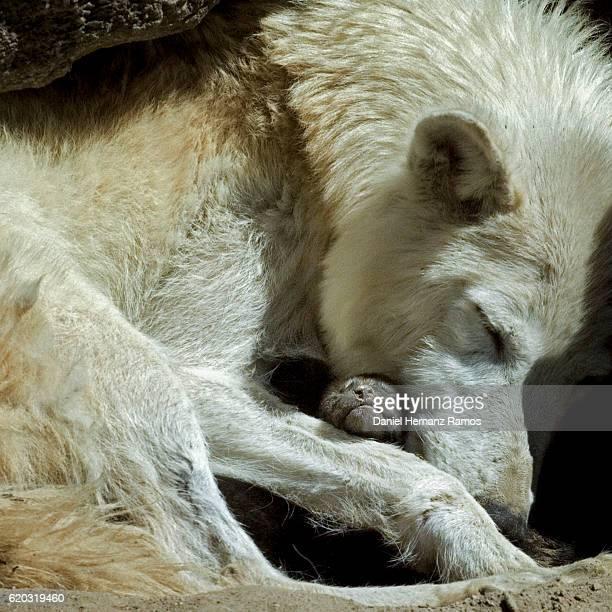 60 Hochwertige Baby Wolf Bilder Und Fotos Getty Images