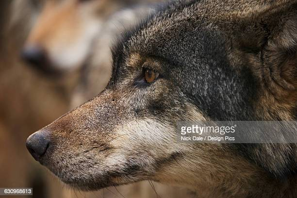close up of a wolf head in profile - black wolf stock pictures, royalty-free photos & images