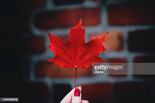 a close up of a woman's hand holding a red maple leaf in autumn, urban mood - september stockfoto's en -beelden