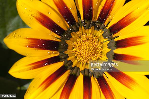 close up of a yellow and orange gazania flower with rain droplets; calgary, alberta, canada - michael stock photos and pictures