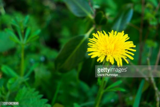 close up of a yellow dandelion growing wild - newbury england stock pictures, royalty-free photos & images