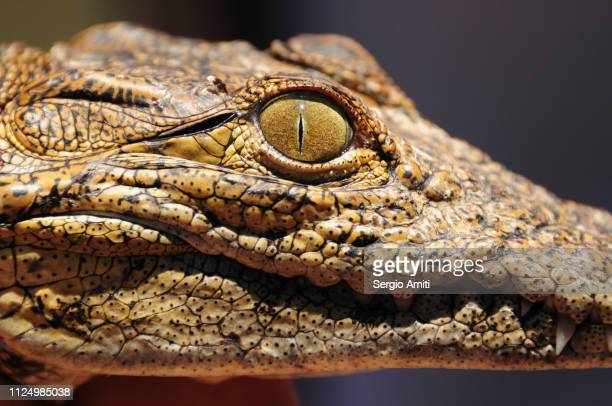 Close up of a young African Nile crocodile