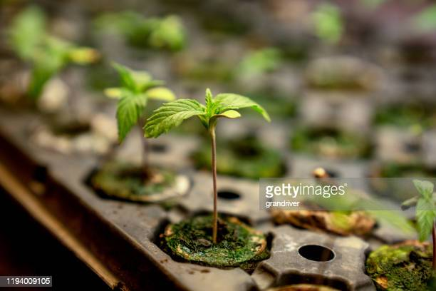 close up of a young hemp or marijuana plant growing in a nursery getting ready to be planted in a field - cbd oil stock pictures, royalty-free photos & images