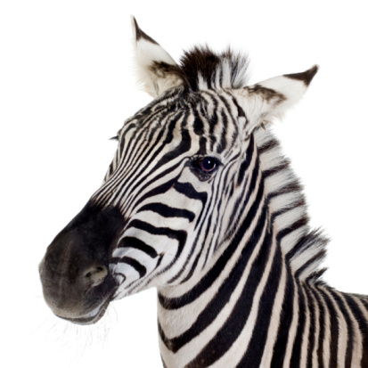 Close up of a zebra on a white background 93212688
