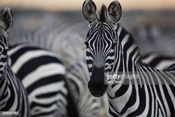 A close up of a zebra