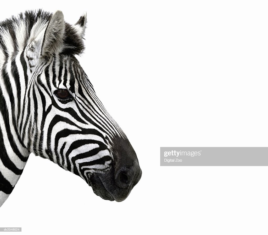 Close up of a Zebra : Stock Photo