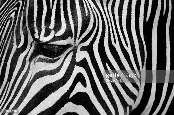 Close up of a zebra's eye and striped coat