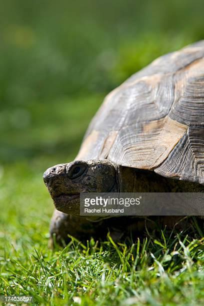 close up of adult pet tortoise in garden - ウェルシュプール ストックフォトと画像