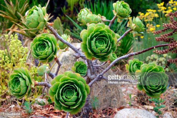 Close up of Aeonium arboretum plant