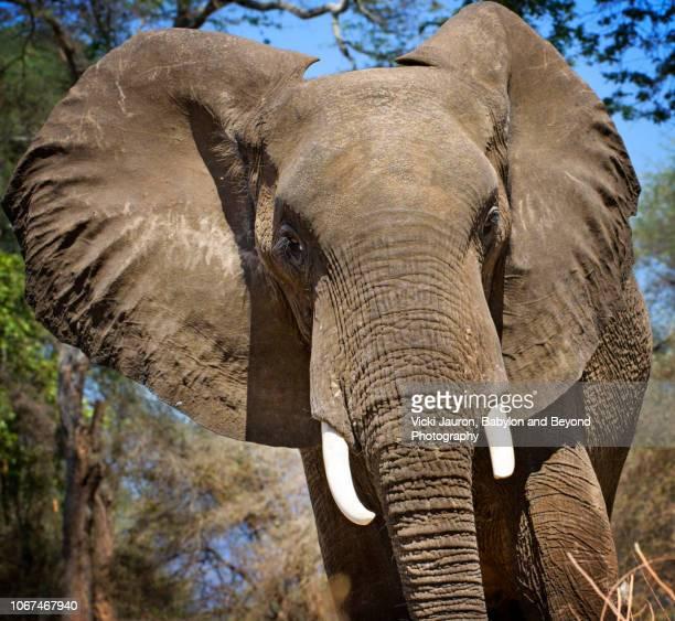 Close Up of African Elephant Looking at Camera at Mana Pools, Zimbabwe