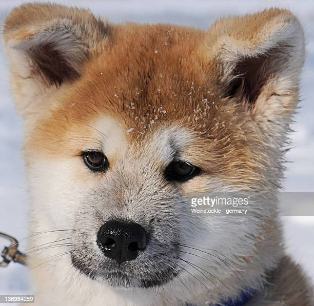 Close up of Akita welpen dog