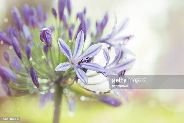 Close up of Alliums flower.