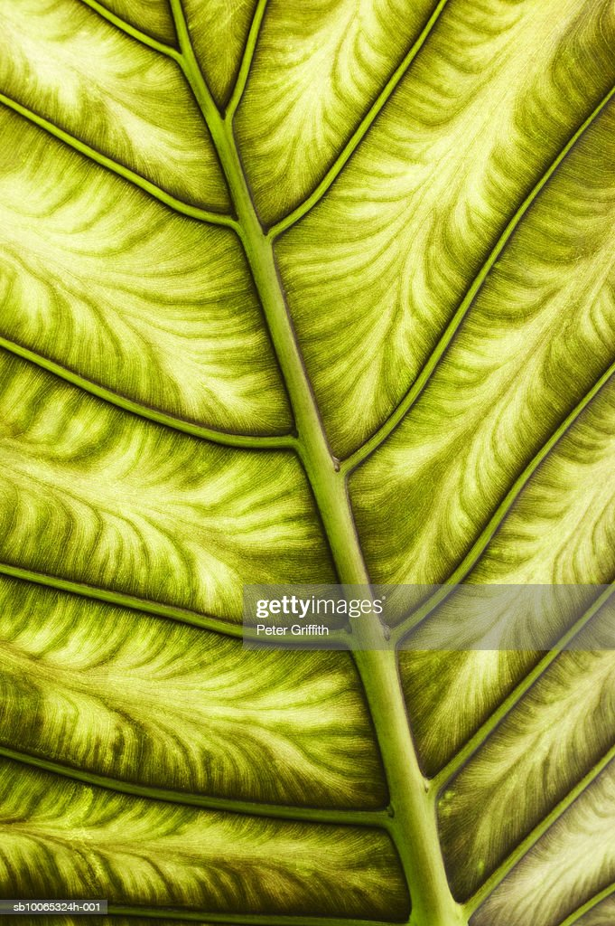 Close up of alocasia leaf : Foto stock