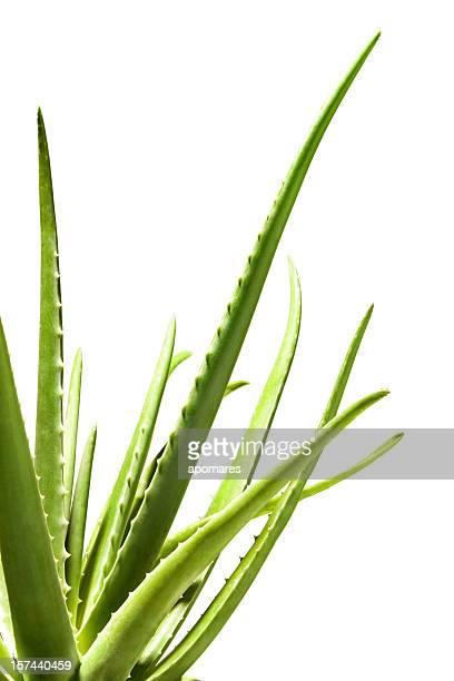 Primer plano de Aloe Vera con trazado de recorte
