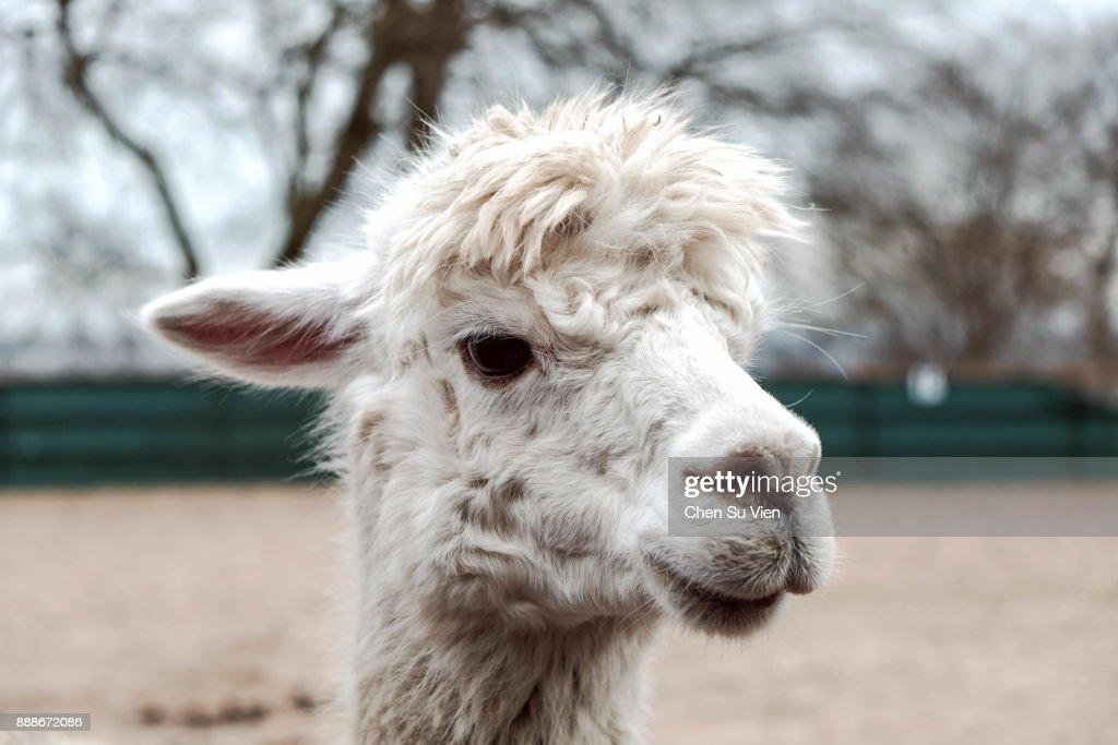 Close Up of Alpaca's Face : Stock Photo