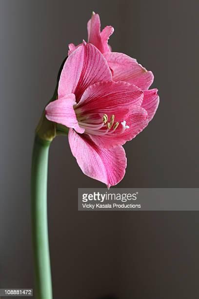close up of Amaryllis flower