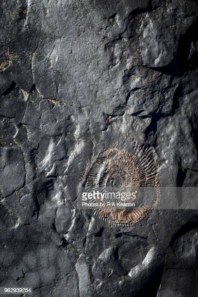 close up of ammonite fossil in rocks at runswick bay, north yorkshire - fossil site stock pictures, royalty-free photos & images