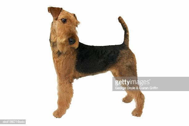 Close up of an airedale terrier