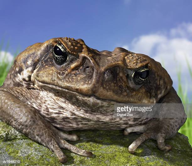 close up of an anxious cane toad sitting on a rock - cane toad stock pictures, royalty-free photos & images