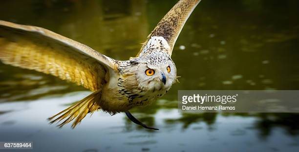 Close up of an Eagle owl flying