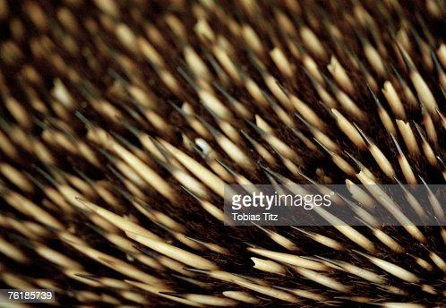 Close up of an echidna's bristles