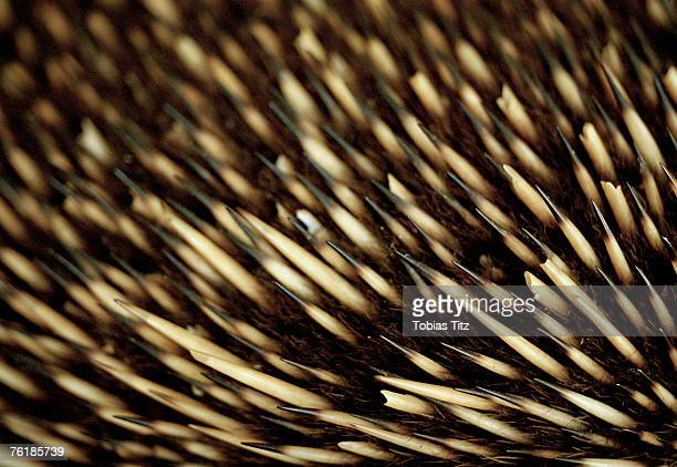 Close up of an echidna's bristles