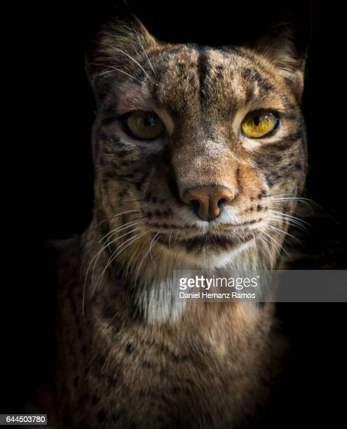 Close up of an Iberian lynx head front view looking at camera. Lynx pardinus