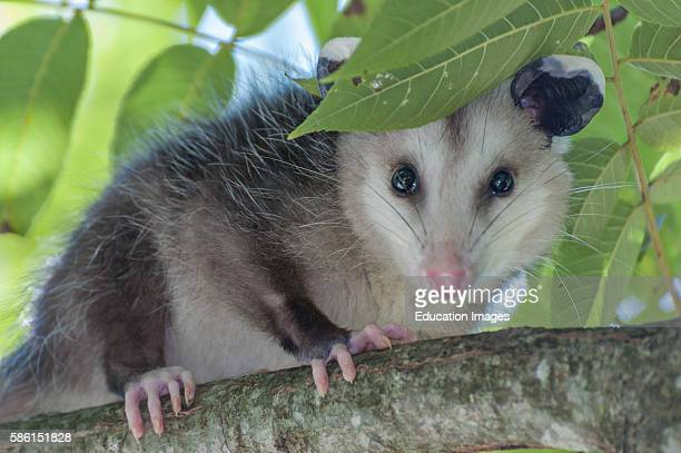 Close up of an Opossum in a tree.