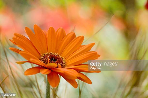 close up of an orange flower in a field - gerbera daisy stock pictures, royalty-free photos & images