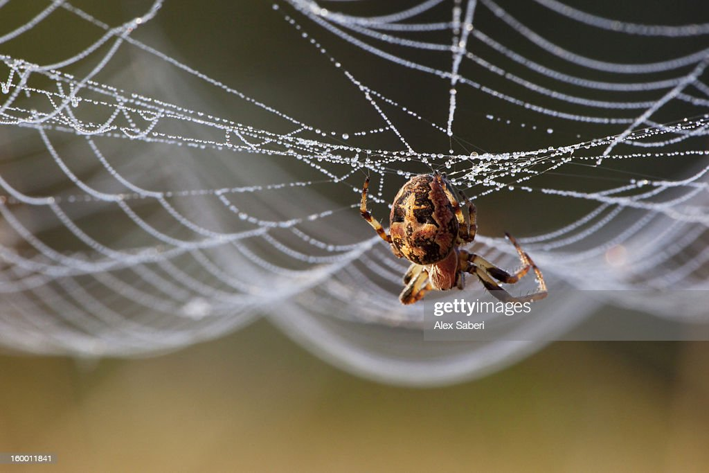 Close up of an orb-weaving spider on its web. : Stock Photo