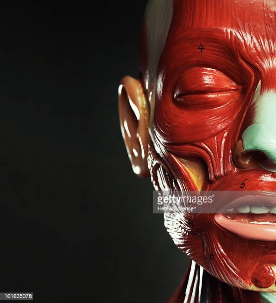 Close up of anatomical facial features