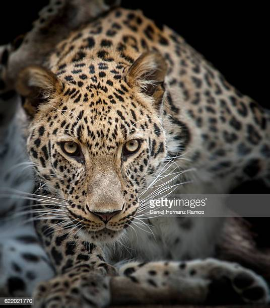 close up of angry leopard face detail. headshot. panthera pardus - leopard photos et images de collection