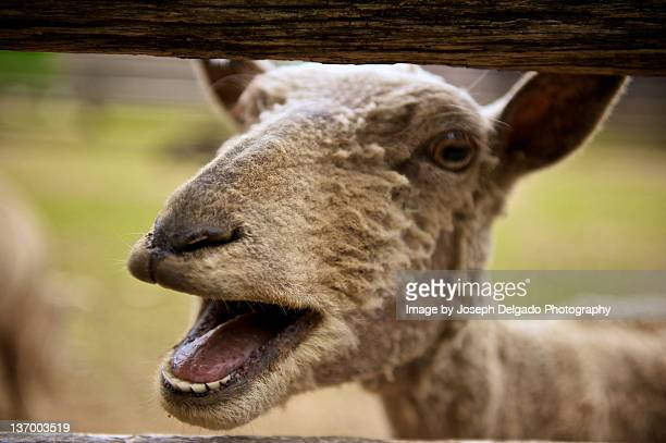 Close up of Angry sheep in barn