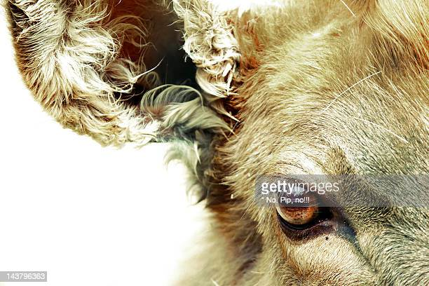 close up of animal eye - cow eyes stock pictures, royalty-free photos & images