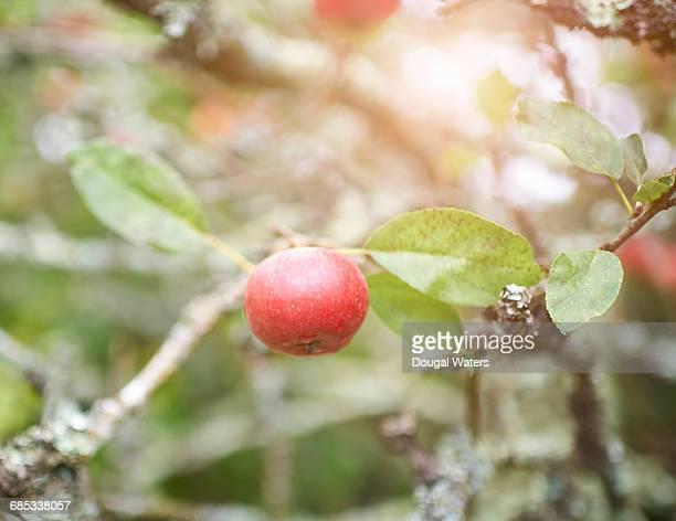 Close up of apple on tree.